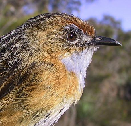 mount lofty ranges southern emu-wren male