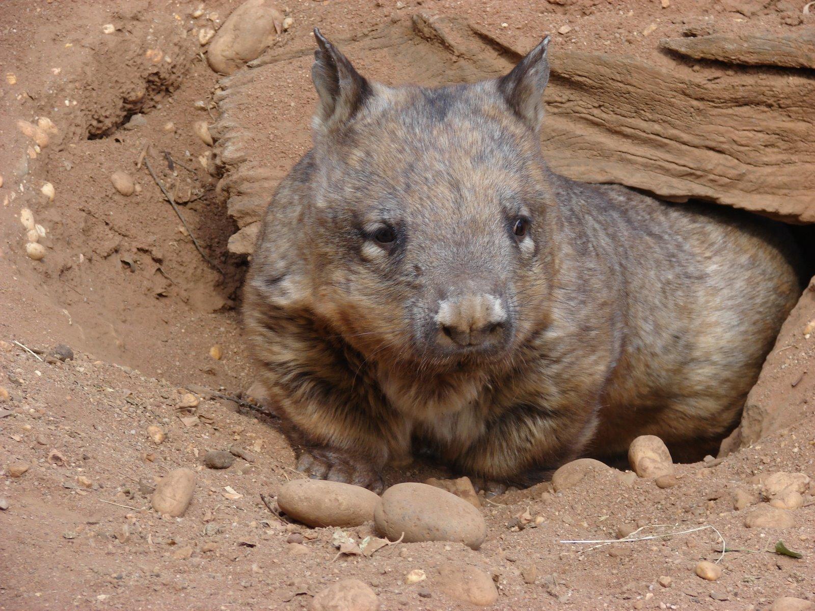 Wombat3.jpg