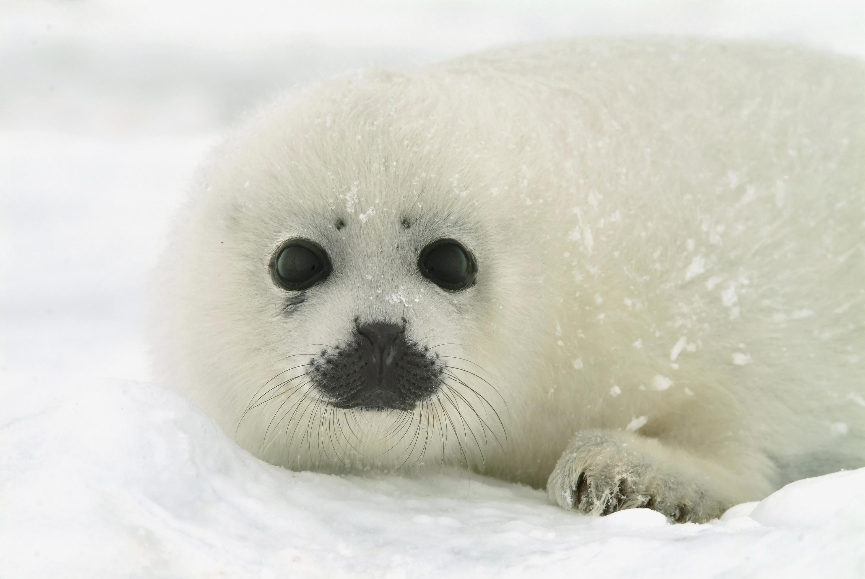Harp_Seal.jpg