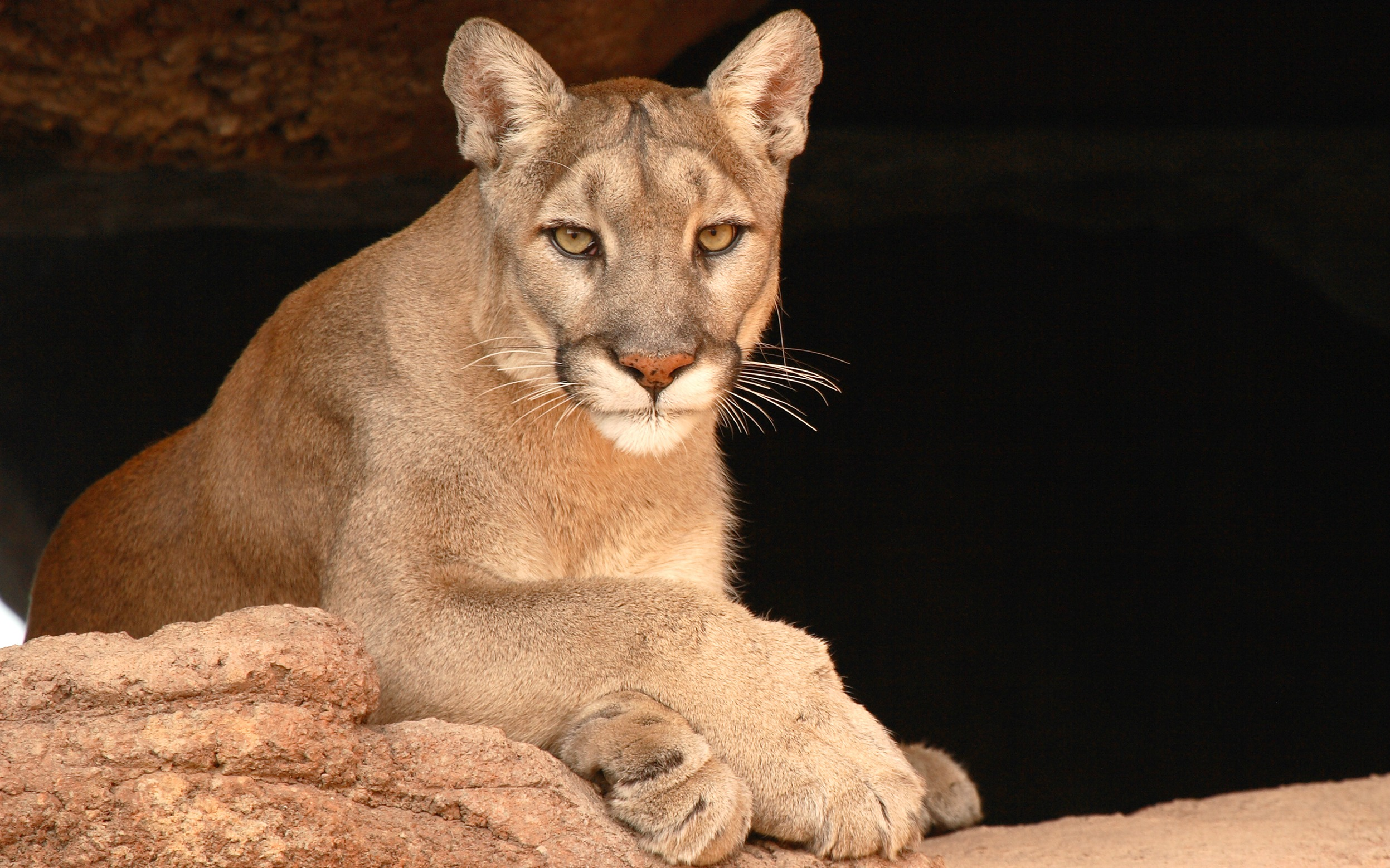 Mountain_Lion_cropped.jpg