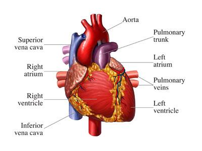 Healthy_Heart.jpg