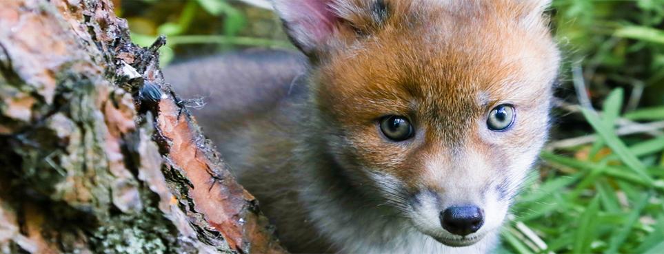 Vinny_the_fox.jpeg