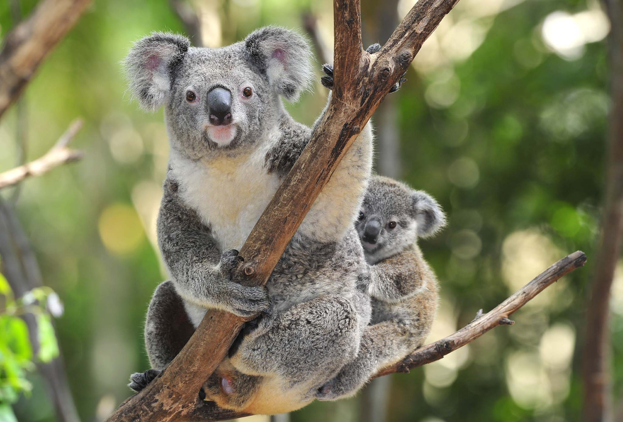 Greens disappointed in Nambucca Shire Council's failure to support Great Koala National Park - Dawn Walker MP