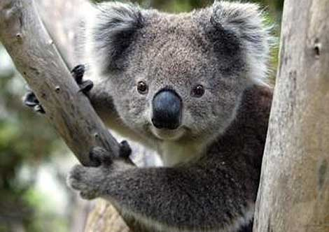 Government's private land purchase proposal inadequate to protect koalas - Dawn Walker MP