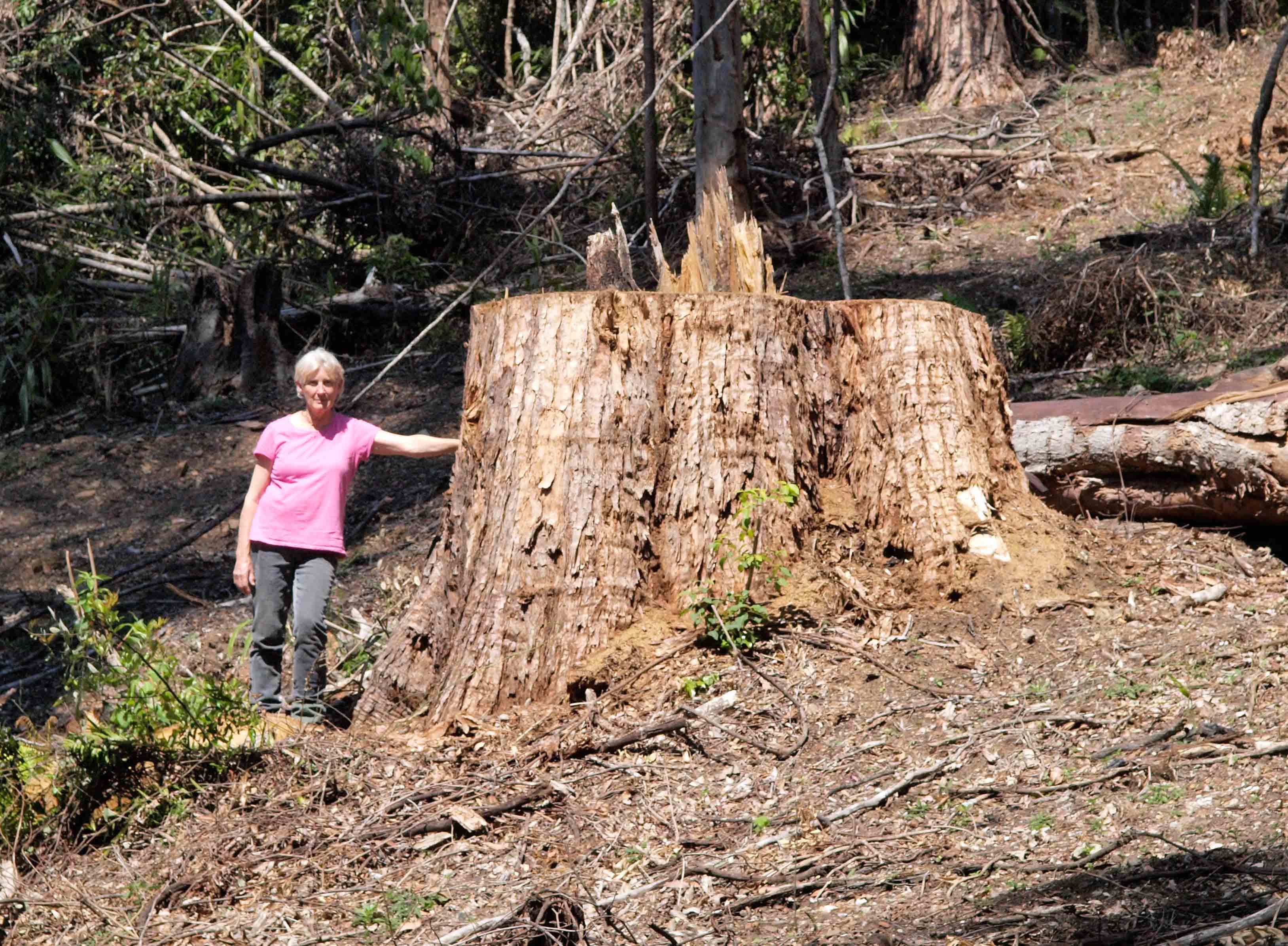 Greens call for urgent suspension of logging operations in prime koala habitat in Buckra Bendinni State Forest - Dawn Walker MP