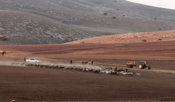 Palestinians herd their flocks during a temporary eviction order for the purpose of Israeli military exercises outside Tubas, in the northern Jordan Valley. (Photo: DCIP / Cody O'Rourke)