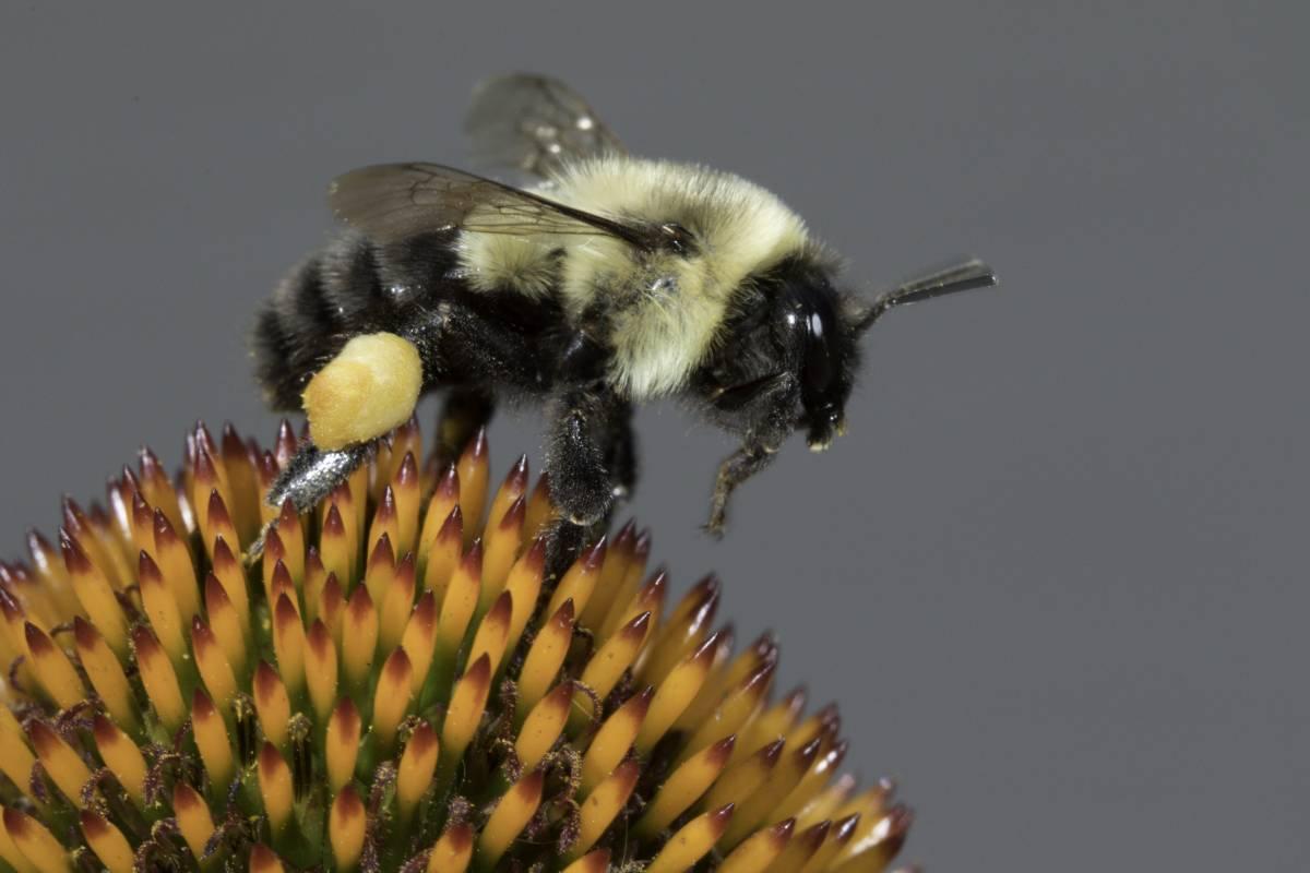Common_Eastern_Bumblebee_0109.jpg