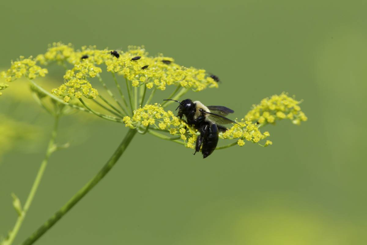 Common_Eastern_Bumblebee_0086.jpg