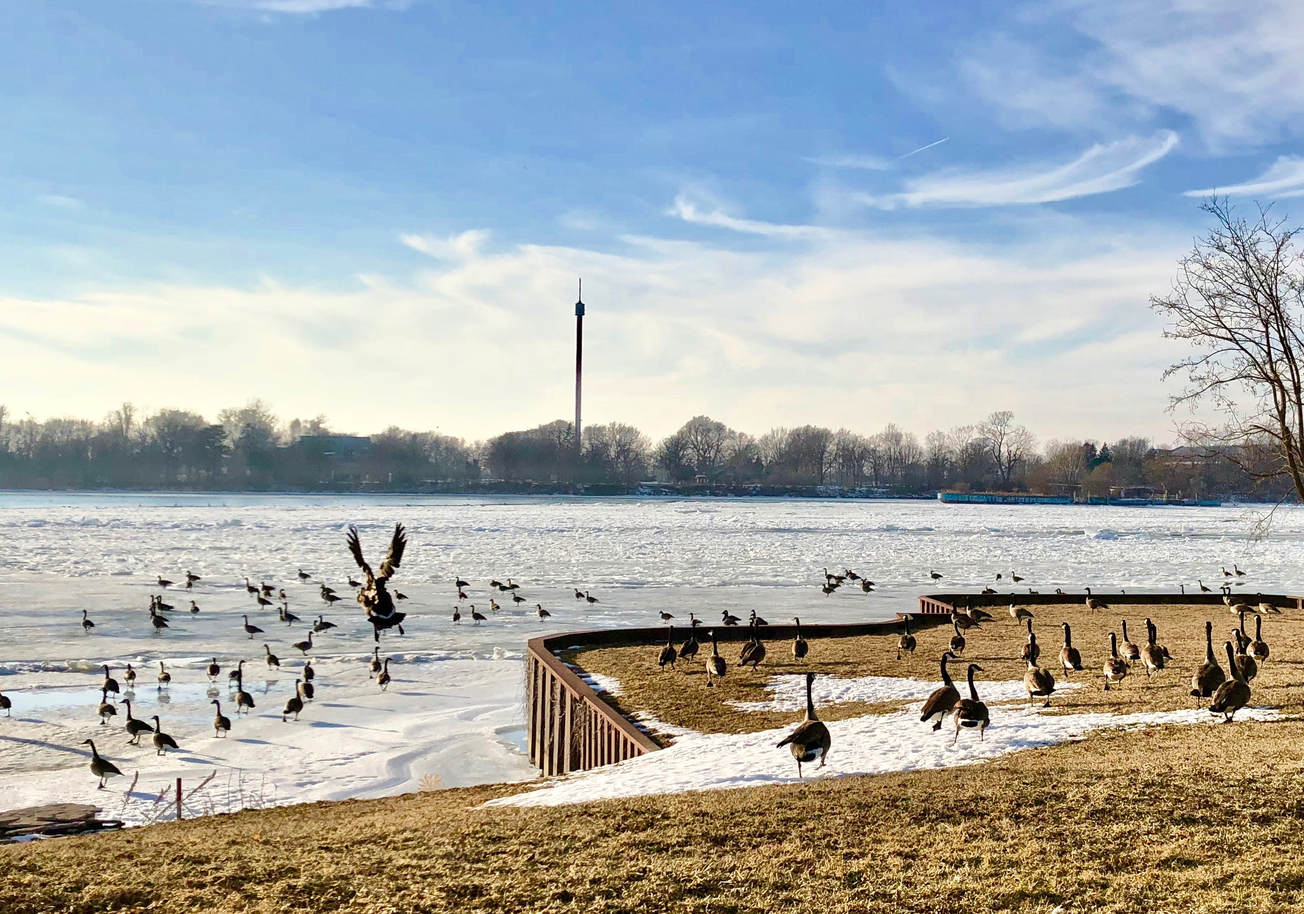 Geese near the Detroit River in Amherstburg.