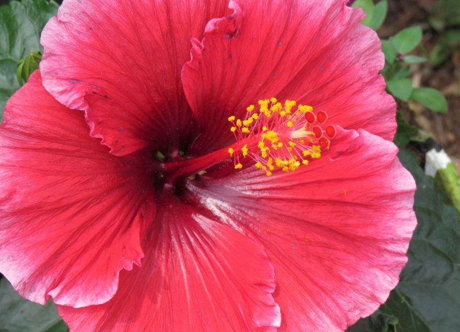 A closeup of a red flower