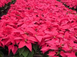 poinsettias.jpeg