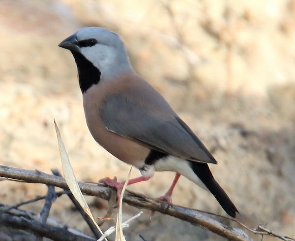 Black-throated_Finch_(Poephila_cincta).jpg