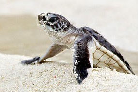 558878-3-baby-green-sea-turtle-great-barrier-reef-australia-285x190.jpg