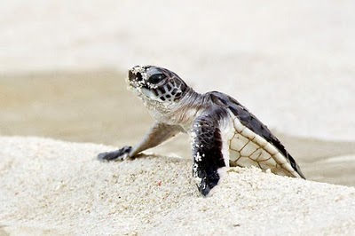 558878-3-baby-green-sea-turtle-great-barrier-reef-australia-505x336.jpg