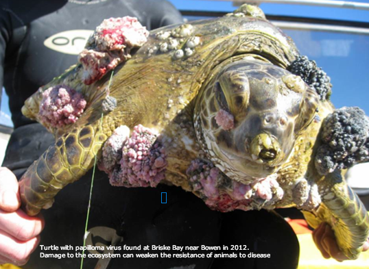 Turtle_papilloma_virus_Briske_Bay_near_Bowen_2012_image2.png