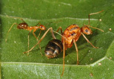 yellow crazy ant worker and queen on a leaf