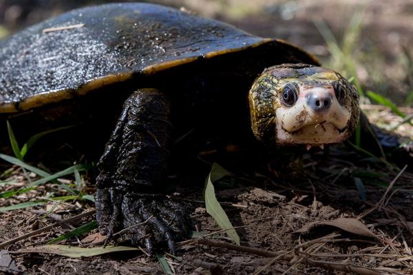 Irwin's Turtle standing on dry land