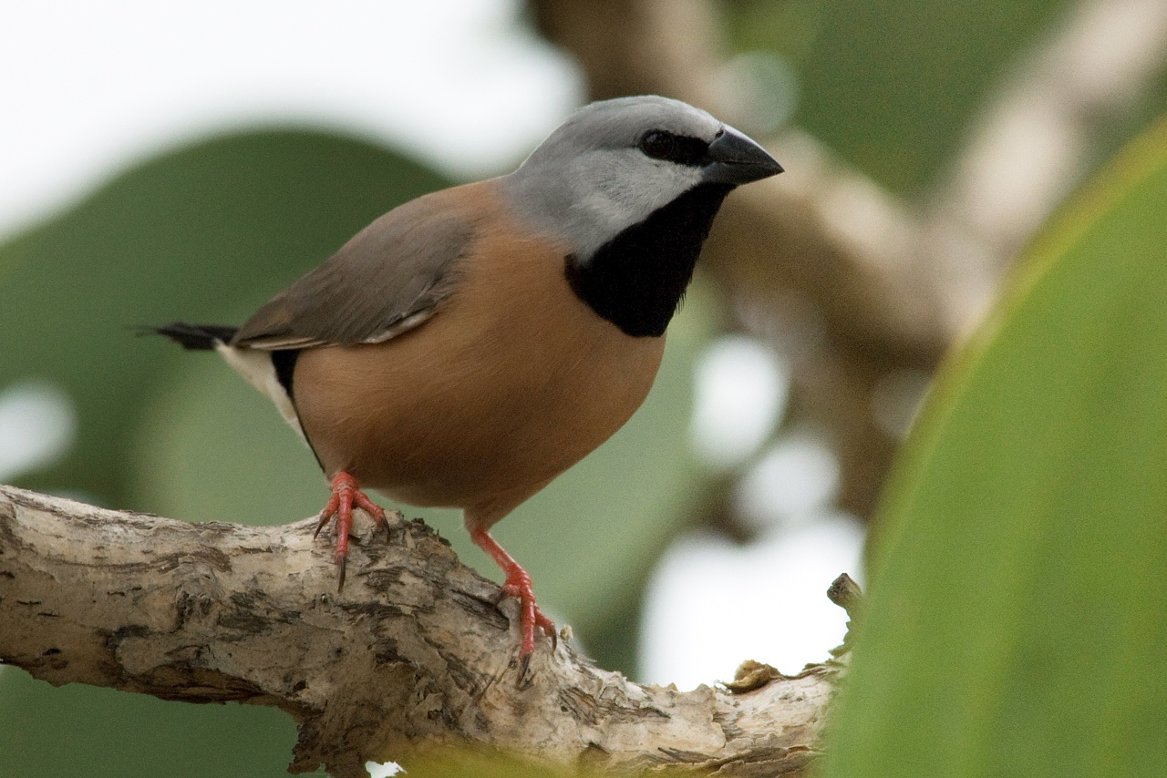Black Throated Finch on a branch