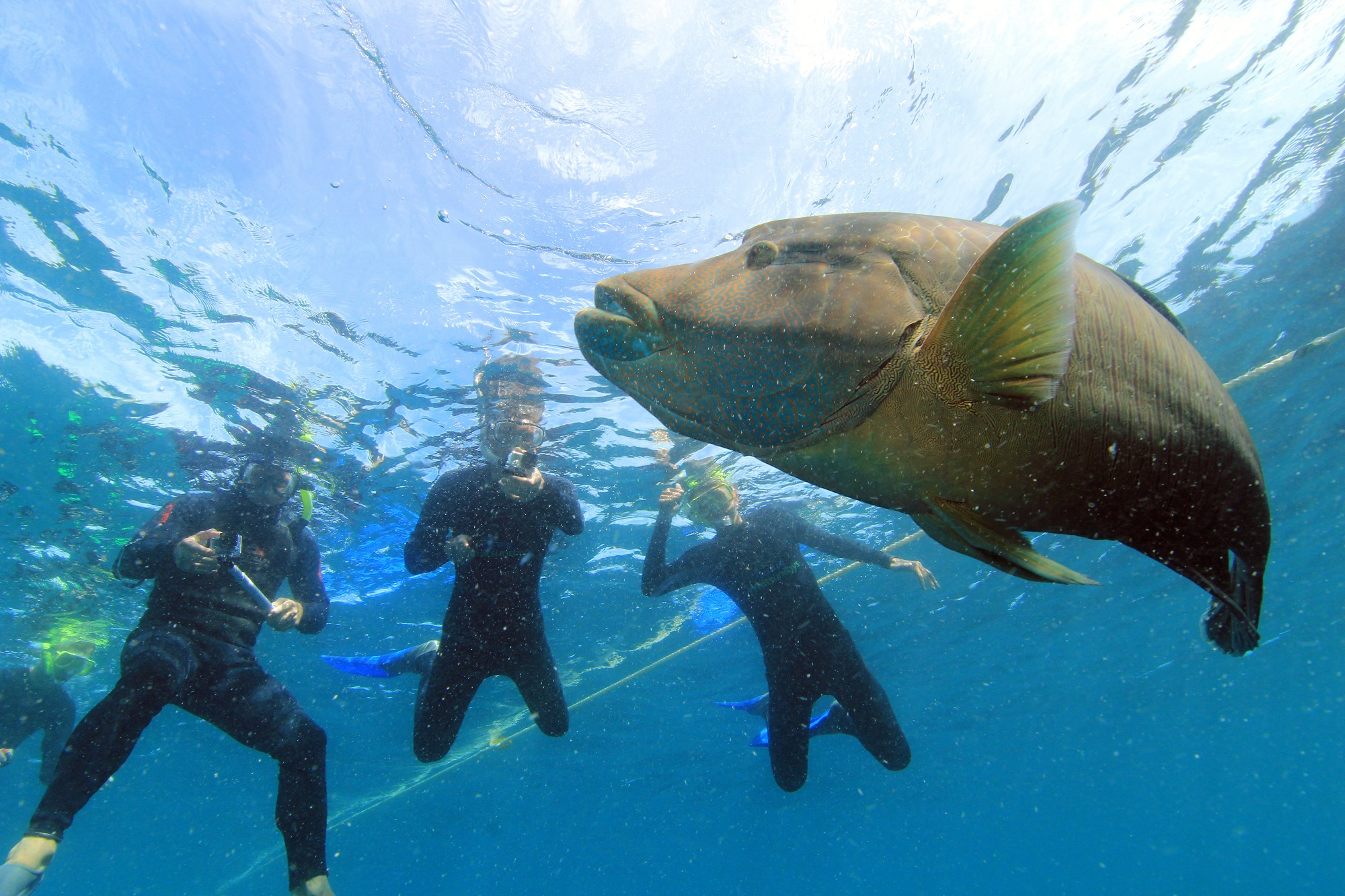 Maori Wrasse and snorkellors