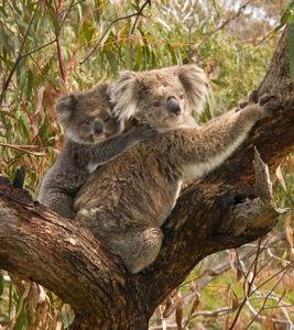 Koala_and_joey_small.jpg