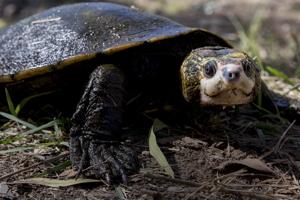 Irwin's Turtle