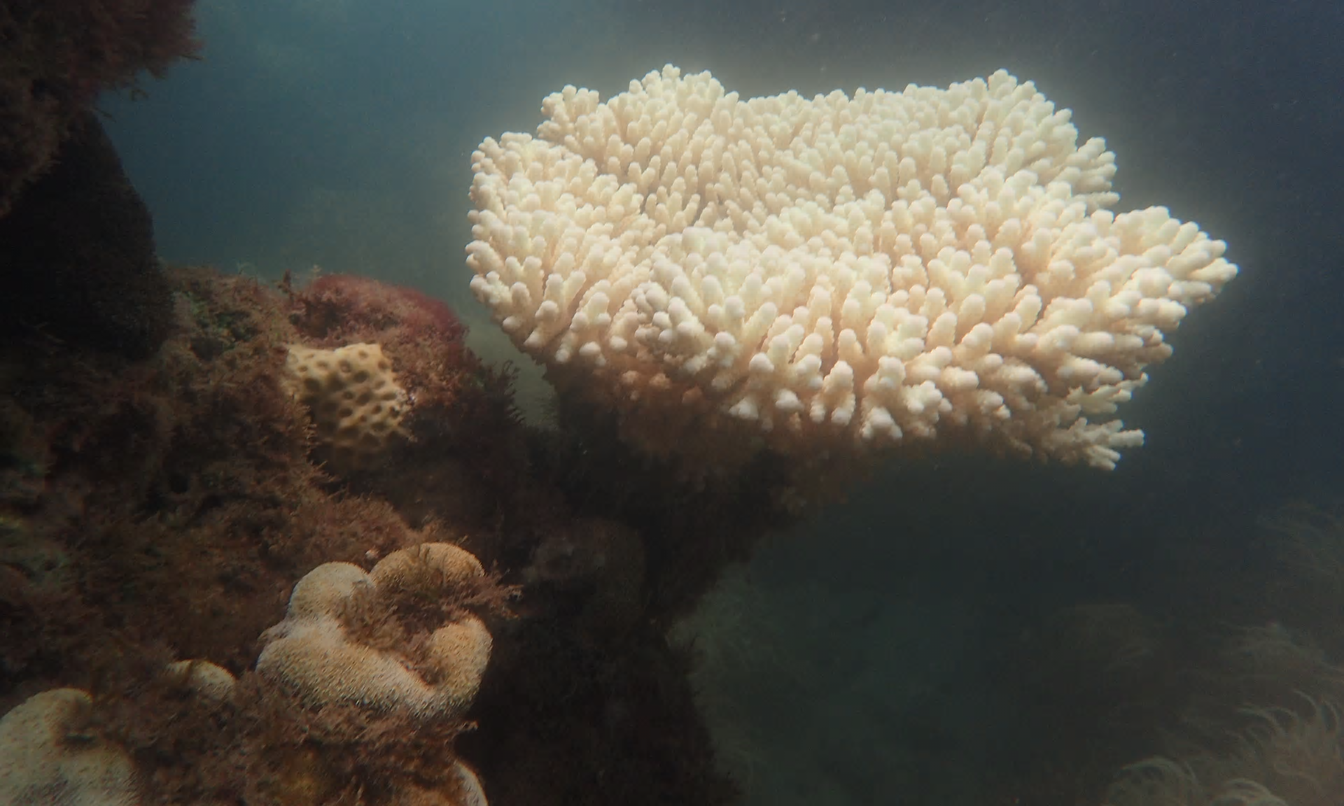 Bleached_coral._Photograph_supplied_by_the_Australian_Marine_Conservation_Society.png