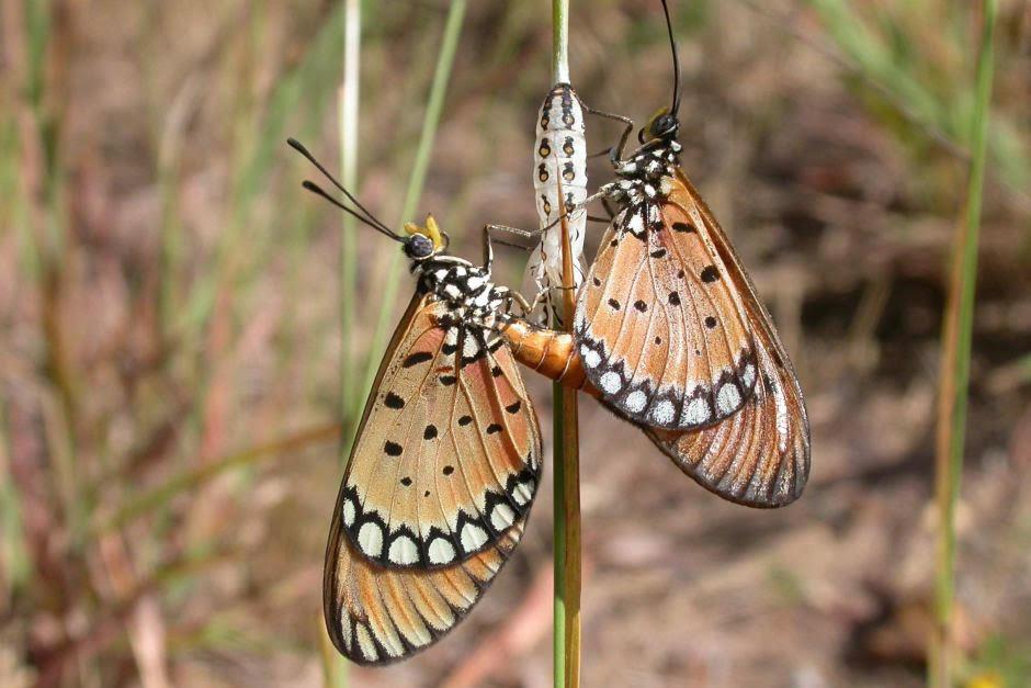 Tawny_Butterfly_(1).jpg