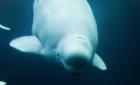 Eastern Shore Sanctuary for Belugas?