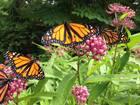 Saving Pollinators with Backyard Action
