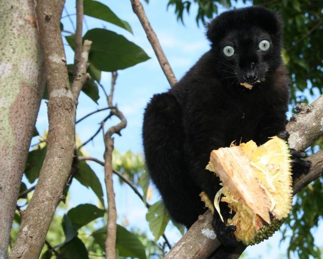 Blue-eyed_black_lemur.preview.jpg