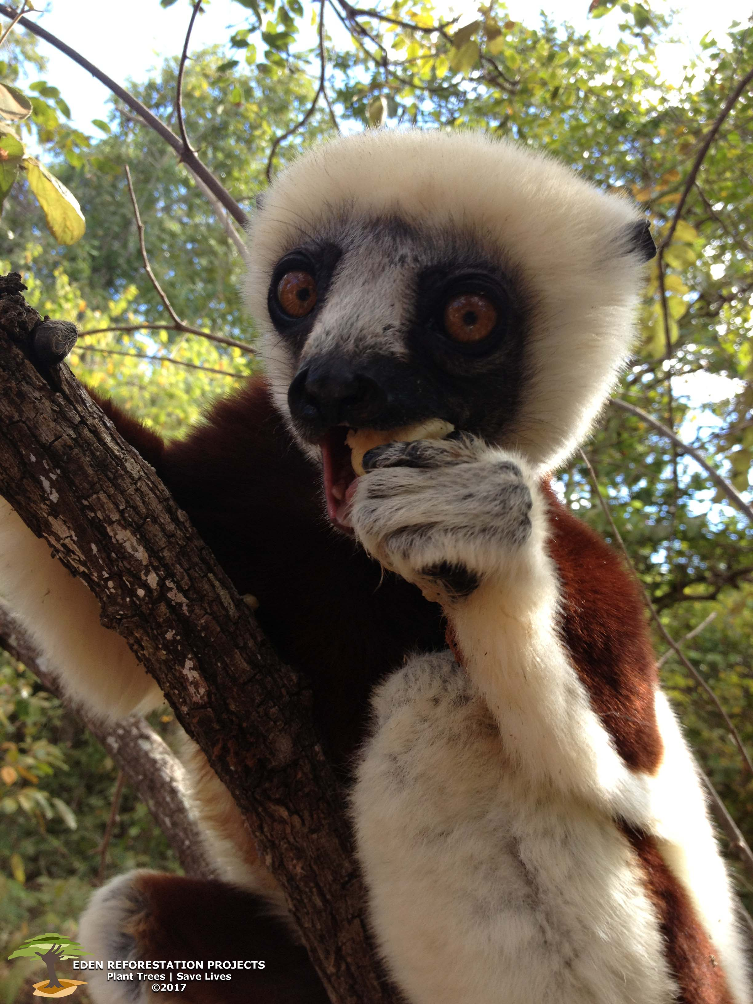 Sifaka_with_watermark.jpg
