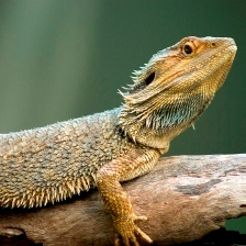 Lizard_-_purchased_from_iStock_000008748980Medium_wider_1__-_resized_square.jpg