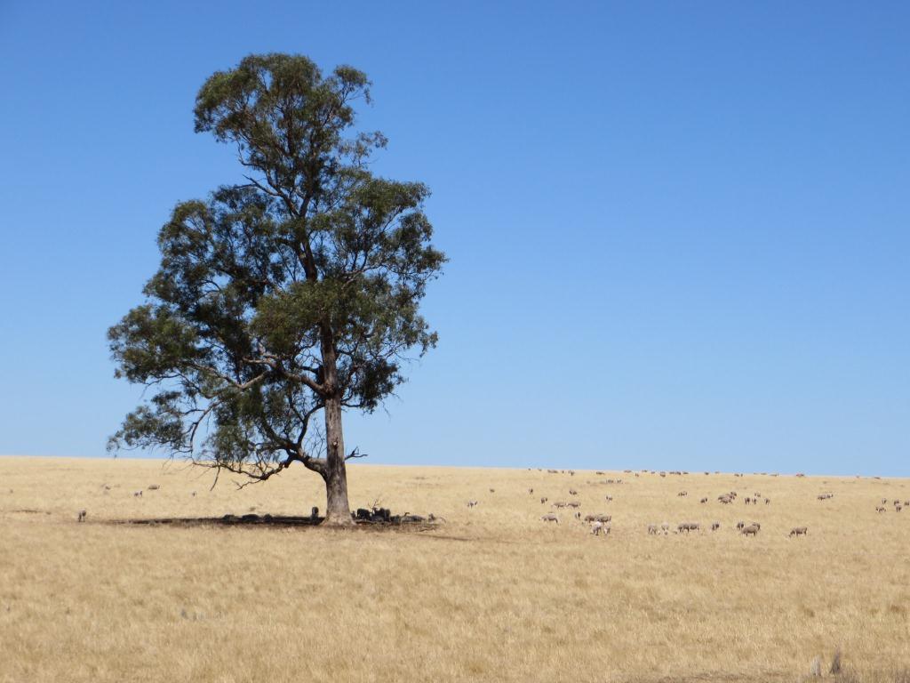 Tree_and_sheep_in_paddock.jpg