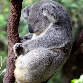 koala_istock320.jpg