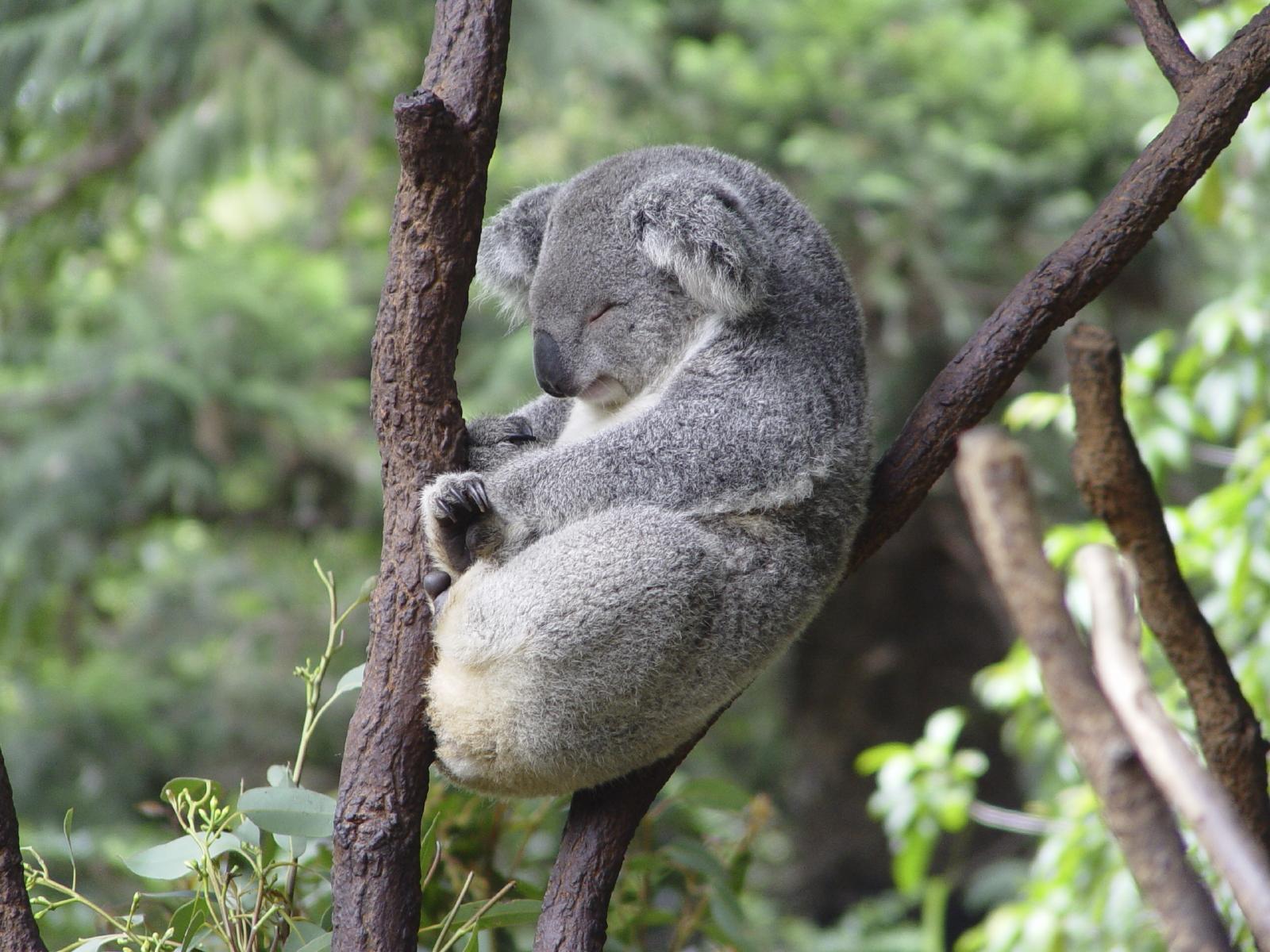 koala_istock.jpg