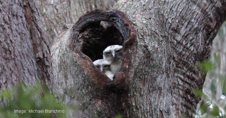 Powerful Owl chicks