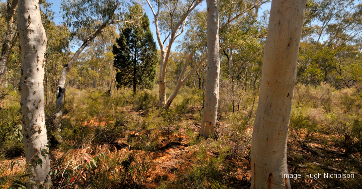 A section of the Pilliga State Forest