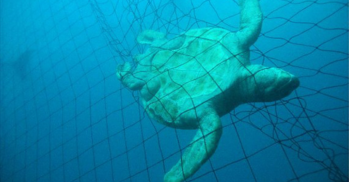 Turtle caught ina sharknet