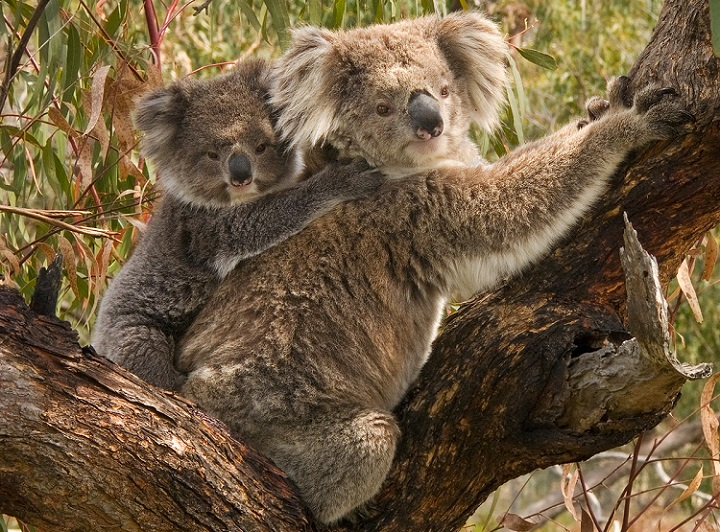 Koala_and_joeyWikimedia_free_to_use_or_modify_noncommercial.jpg