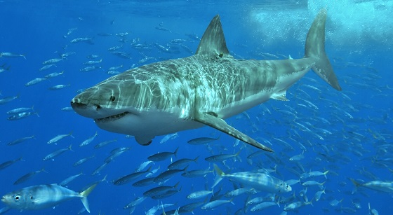 White_shark_photo_Terry_Goss_Wikimedia560.jpg