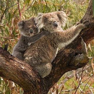 Koala_and_joey320.jpg