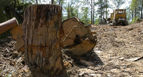 tree_stumps_clearing_560.jpg
