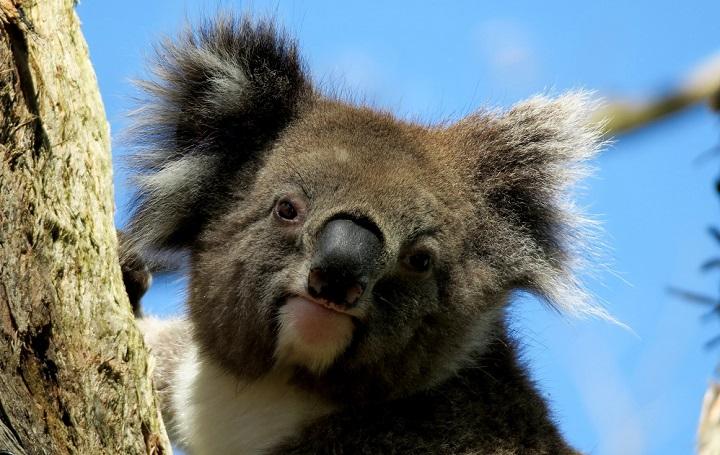 animal-australia-koala-460969_Pexel_free720.jpg