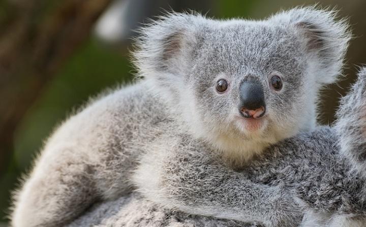 koala_baby_istock_720.jpg