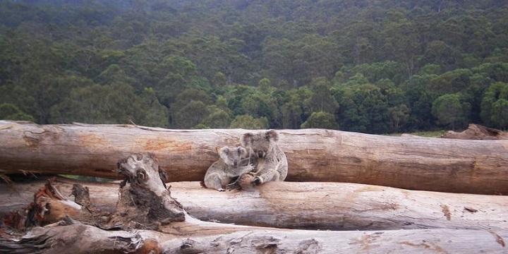 koala_dead_wood_720.jpg