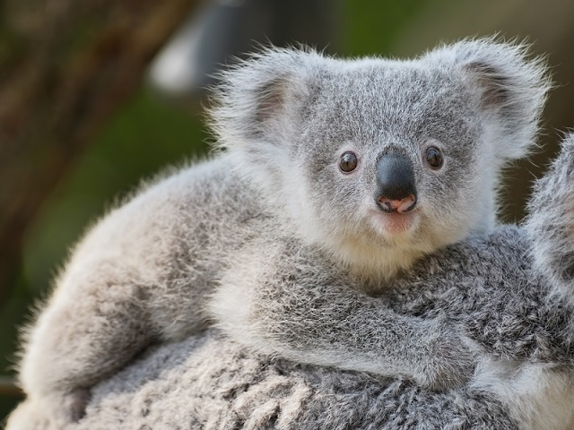 koala_640.jpg
