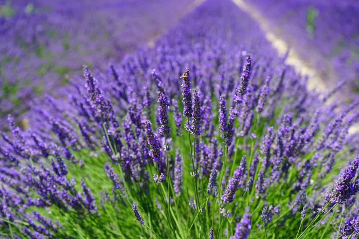 For the Lavender - Wikipedia CC