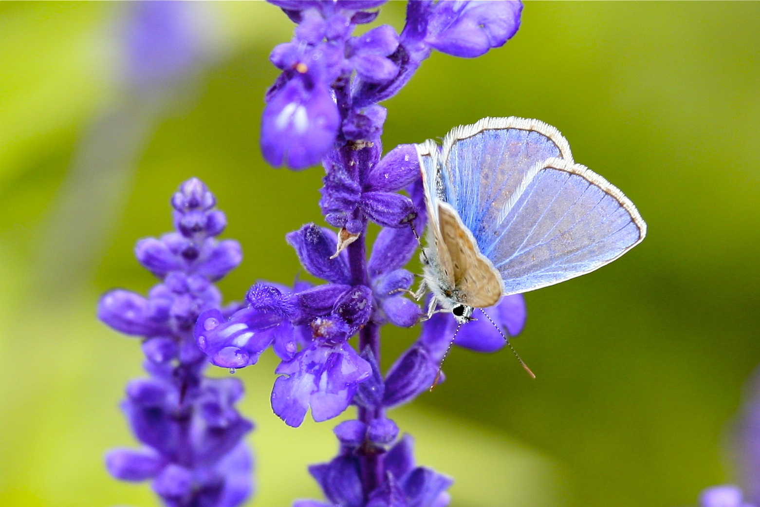 Lavendar with Butterfly who is pollinating - Wikipedia CC