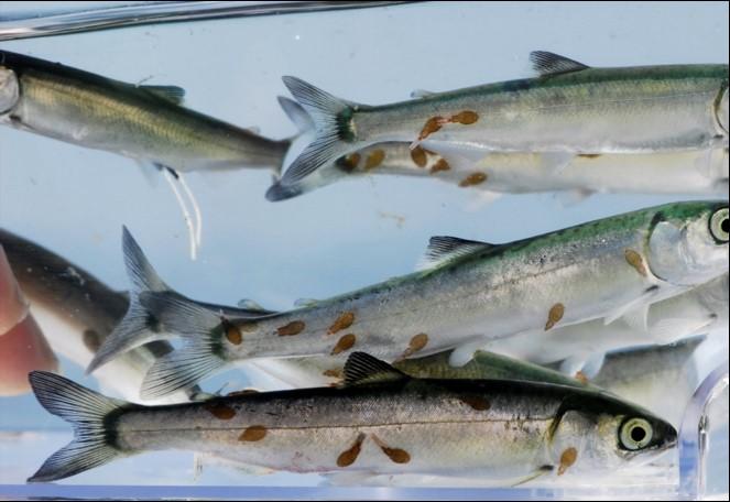 Sea_Lice_Salmon.jpg