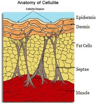 cellulite-cells.png